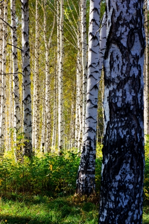 Birch grove with shadows from afternoon sunlight photo