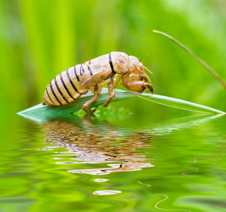 The empty brown cicada cocoon on the plant over the water with reflections photo
