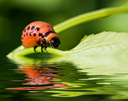 The red colorado beetles larva on the potato leaf over the water surface photo