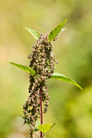 Nettle plant by summer in the field photo
