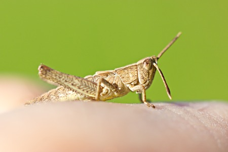 Light brown grasshopper sitting on man finger closeup against green background photo