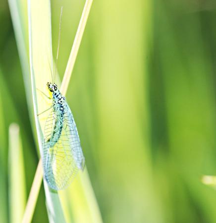 chrysope: Bleu chrysope sur la tige par journ�e d'�t�