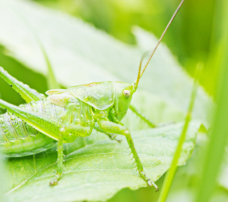 Green grasshopper sitting on grass stem closeup against green background photo