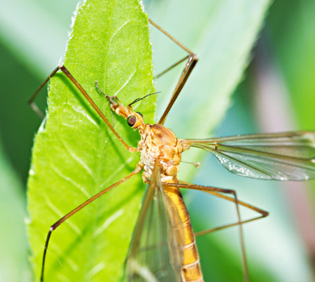 Brown tipula on green leaf by summer day photo