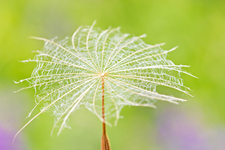 Dandelion parachute  macro against green background photo