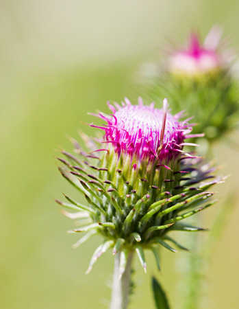 mariano: Thistle green closed bud with lilac stamens