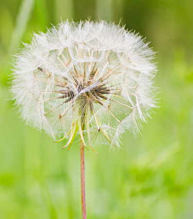 Dandelion faded white head against green background photo