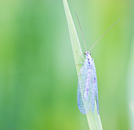 lacewing: Green lacewing on stem by summer day Stock Photo
