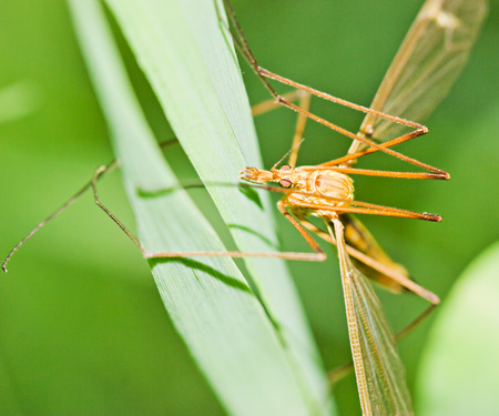 Brown tipula on grass by summer day photo