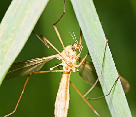 tipulidae: Brown tipula on grass by summer day Stock Photo