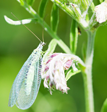 Green lacewing on flower by summer day photo