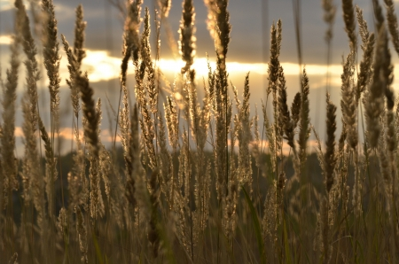 spikelets: spikelets