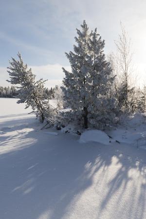 siberian pine: Winter landscape Siberian pine in hoarfrost