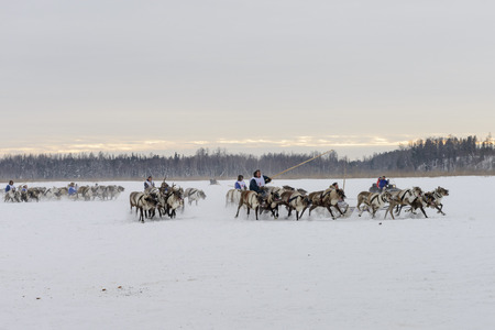 races on reindeer sledding at the national celebration of the Day of the reindeer herders in Yamal