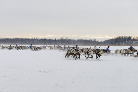 herder: races on reindeer sledding at the national celebration of the Day of the reindeer herders in Yamal