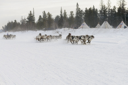 Racing on deers in the holiday Day of the reindeer herders on Yamal
