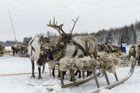 Sled with reindeer on Yamal