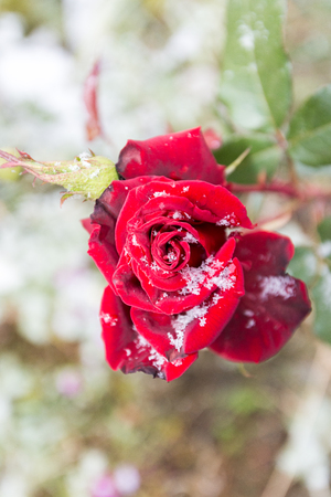 The first snow on the petals of roses Stock Photo