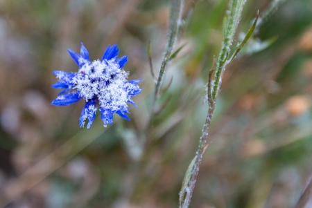Snow on a bright blue flower