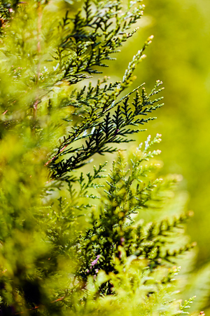 thuja occidentalis: Closeup of green thuja tree branch