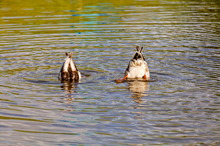 Two ducks diving in the river