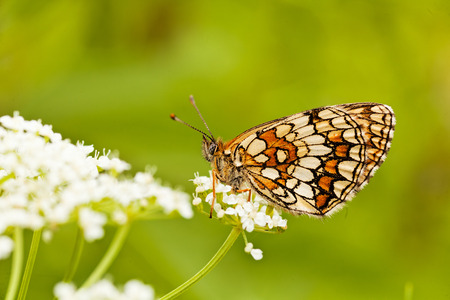 Butterfly on a white flower with folded wings, profile,  note shallow dept of field Reklamní fotografie - 86173337