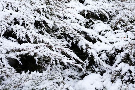 cold: Closeup of pine tree branches covered with snow