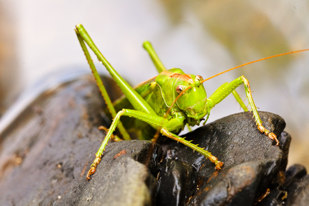 Closeup of a green grasshopper on black pebbles; note shallow depth of field Imagens