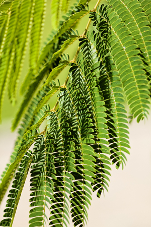 green leaves of decorative tree albizia, note shallow depth of field Stock Photo