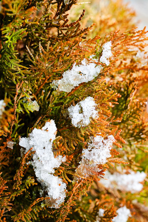 cold: Closeup of red thuja tree branches covered with snow