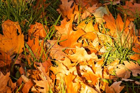 heap: dry fallen leaves in autumn, note shallow depth of field