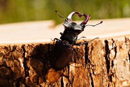 stag beetle on the stump, note shallow dept of field