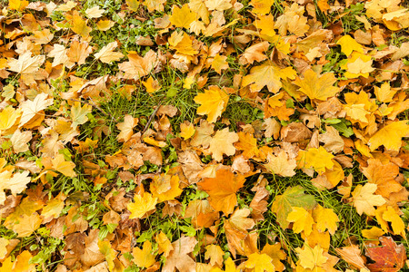 heap: withered fallen leaves on the green grass, note shallow depth of field