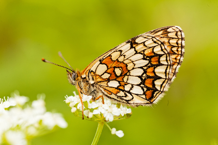 Butterfly on a white flower with folded wings, profile,  note shallow dept of field
