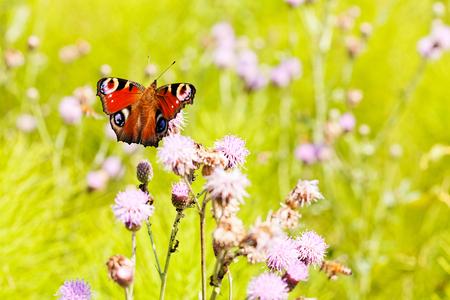De pauwvlinder met uitgespreide vleugels, op een roze bloem, neemt nota van ondiepe diepte van gebied