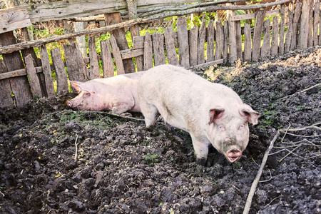 pigs in their environment, note shallow depth of field
