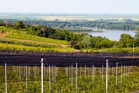 backstop: blueberry plantations with backstops, note shallow depth of field