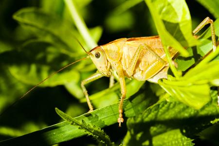 녹색 잎에 필드 메뚜기의 근접 촬영; 얕은 피사계 심도 기록