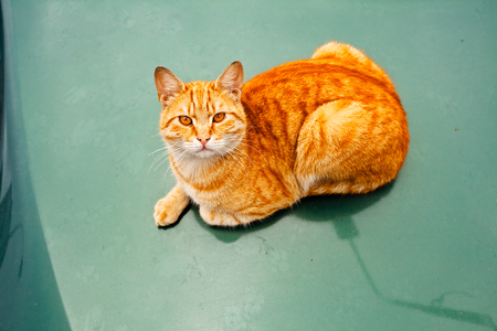 Domestic orange cat laying on the green floor, looking up