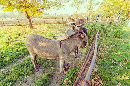 two donkeys behind a fence in the yard, note shallow depth of field