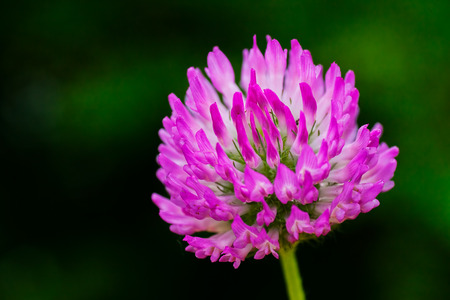 trifolium: Clover flower, on natural background; note shallow depth of field