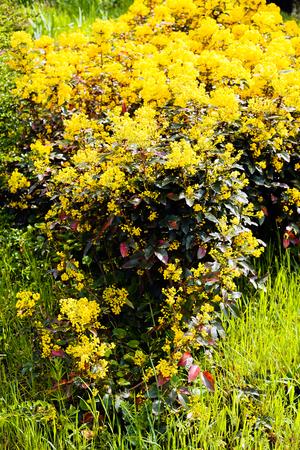 녹색 잔디에 의해 노란색 mahonia 관목 surrounder