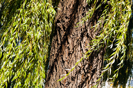 willow tree in nature, note shallow depth of field