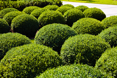 shaped ornamental bushes in parks, note shallow depth of field