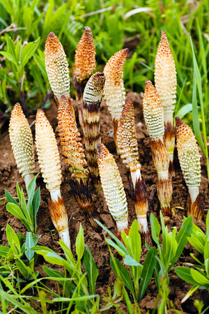horsetail herb in nature, note shallow depth of field Stock Photo