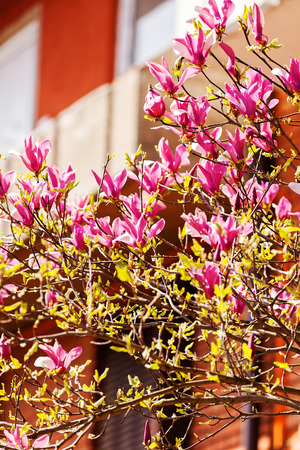 blossomed magnolia in front of building, note shallow depth of field Stock Photo