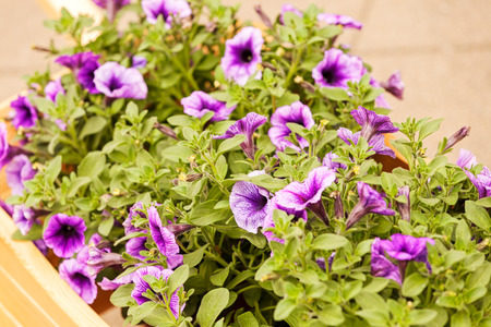 purple flowers  with green leaves, note shallow depth of field Imagens - 86608197