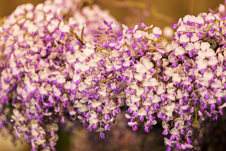branches with white and purple flowers , note shallow depth of field Imagens