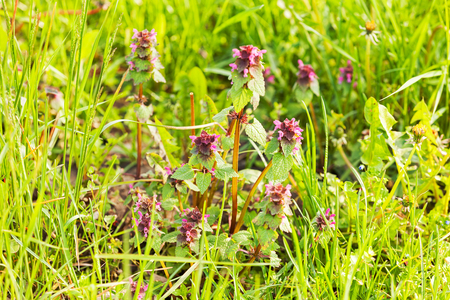purple flowers on the medow with grass around, note shallow depth of field Imagens
