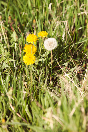 yellow dandelion in the grass, note shallow depth of field